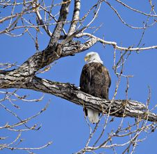 Free Bald Eagle Stock Images - 4426494