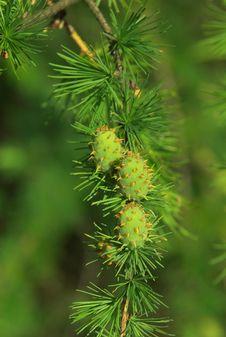 Free Pine Royalty Free Stock Photo - 4426545