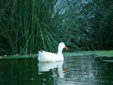 Free Duck In Water Royalty Free Stock Photos - 4426958