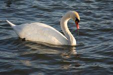 Free Swan Stock Photos - 4427133