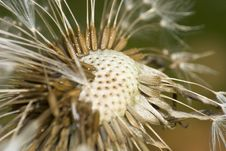 Free Dandelion Flower Royalty Free Stock Photo - 4427205