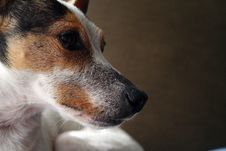 Free Terrier Dog 1 Royalty Free Stock Image - 4427236