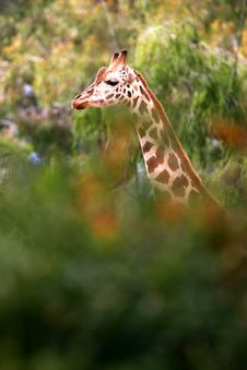 Free African Giraffes Royalty Free Stock Images - 4427389