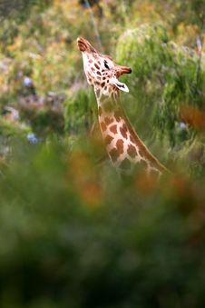 Free African Giraffes Royalty Free Stock Photography - 4427417