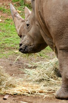 Free African White Rhino Royalty Free Stock Images - 4427449