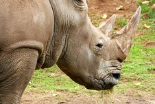 Free African White Rhino Royalty Free Stock Images - 4427469