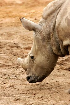 Free African White Rhino Stock Photo - 4427490