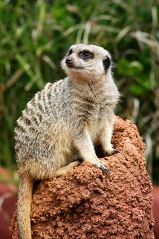 Free Meerkats Royalty Free Stock Photography - 4427557