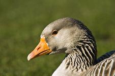 Free Goose On Green Stock Photo - 4427570