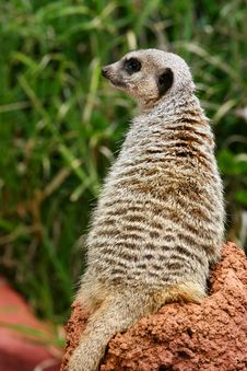Free Meerkats Stock Images - 4427574
