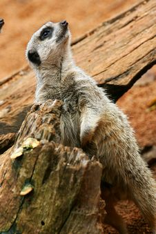 Free Meerkats Royalty Free Stock Photography - 4427617