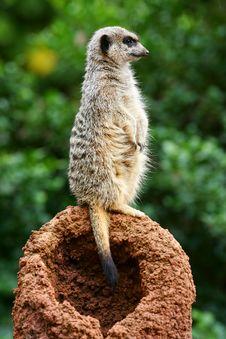 Free Meerkats Stock Images - 4427664