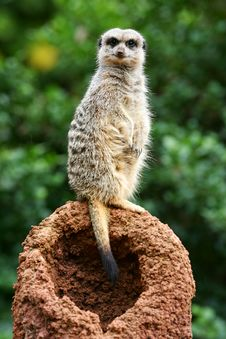 Free Meerkats Royalty Free Stock Photography - 4427667