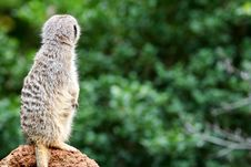 Free Meerkats Stock Photo - 4427680