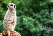Free Meerkats Stock Images - 4427684