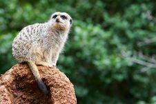 Free Meerkats Stock Image - 4427691