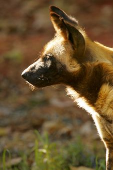 Free African Hunting Dog Stock Photos - 4427793