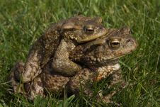Two Mating Toads Stock Photography