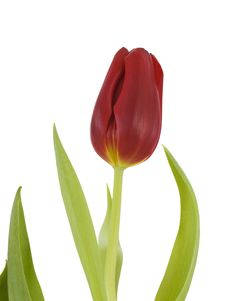 Free Red Tulip Stock Photo - 4427850