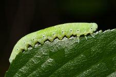Free Caterpillar Royalty Free Stock Image - 4427906