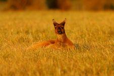 Western Grey Kangaroo Stock Photography