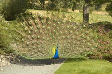 Free Peacock Royalty Free Stock Photography - 4428817