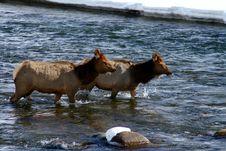 Free Elk River 4 Stock Photo - 4429060