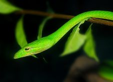 Free Green Snake In The Garden Royalty Free Stock Photography - 4429357