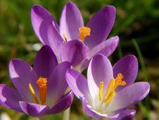 Free Violet Spring Stock Images - 4429744