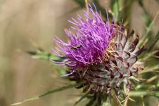 Free Bug On Cotton Thistle Stock Image - 44233581
