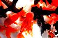Free Black And Golden Goldfish Stock Images - 4433414