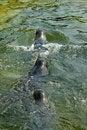 Free Seal Royalty Free Stock Photo - 4435445