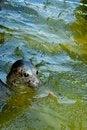 Free Seal Royalty Free Stock Photo - 4435665