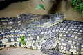 Free Nile Crocodile 1 Royalty Free Stock Images - 4435949