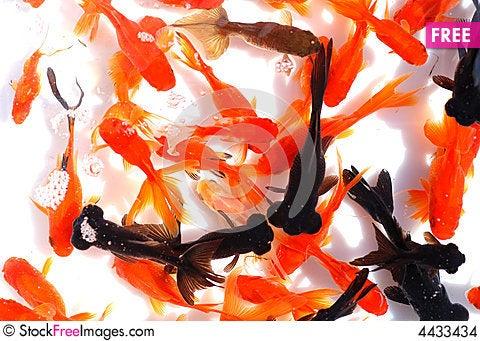 Free Glodfishes Stock Images - 4433434