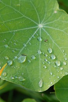 Free Drops On A Green Leaf Royalty Free Stock Photos - 4430278
