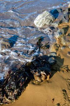 Free Seaweed Shore Stock Images - 4431044