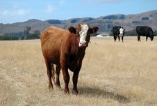 Free New Zealand Curious Cow Stock Image - 4431071