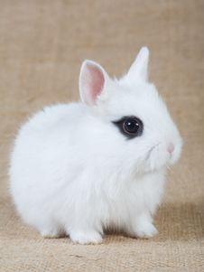 Free White Bunny Royalty Free Stock Photo - 4432245