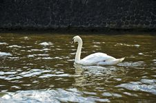 Free Swan Stock Photos - 4432423