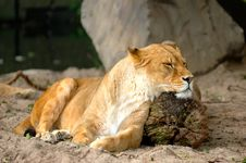 Resting Lioness Stock Photo