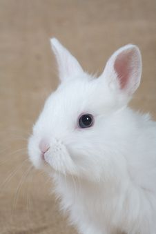 Free White Bunny Royalty Free Stock Image - 4432806