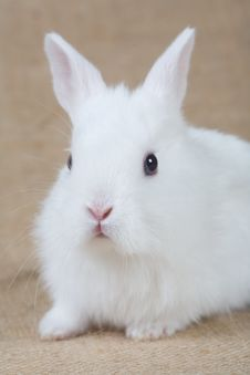 Free White Bunny Stock Photography - 4432862