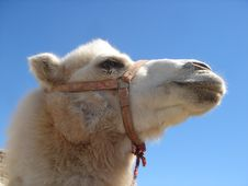 Free Close Up Of A White Camel Stock Photography - 4433452