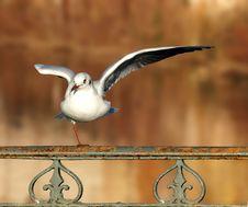 Free Acrobat Gull Stock Photo - 4433980