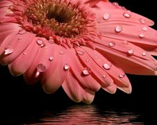 Free Pink Gerbera Daisy With Reflection Stock Photography - 4434732