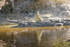 Free A Pair Of American Crocodiles Royalty Free Stock Photo - 4434805