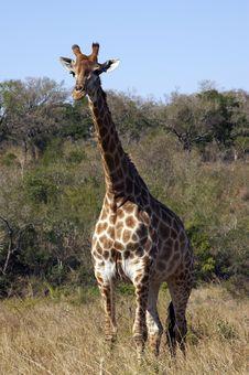 Free Giraffe Royalty Free Stock Images - 4434959