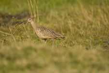 Free Long-billed Curlew Stock Images - 4434974