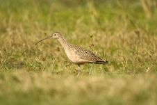 Free Long-billed Curlew Hunting A Field Royalty Free Stock Image - 4434996